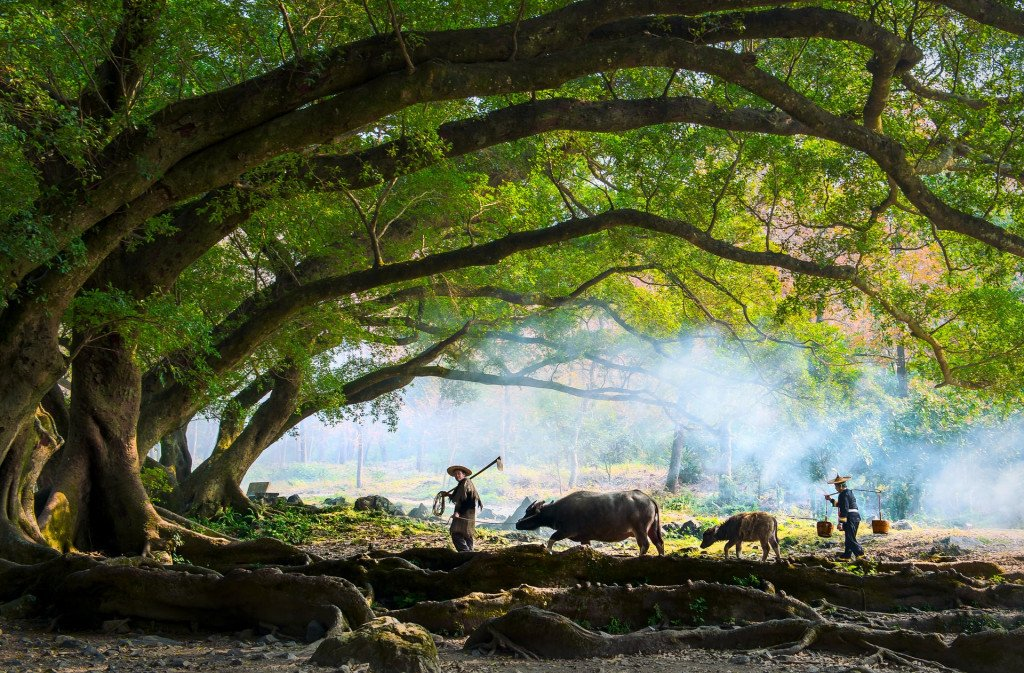 Farmers with water buffalo in China