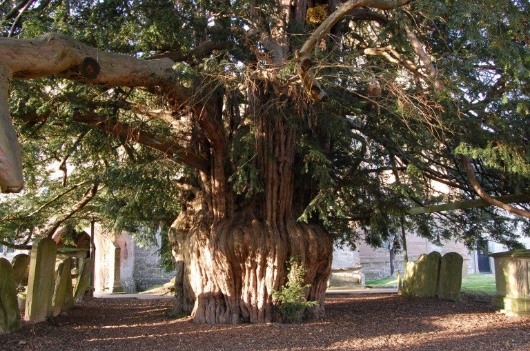 Ancient Yew tree, Much Marcle Church.