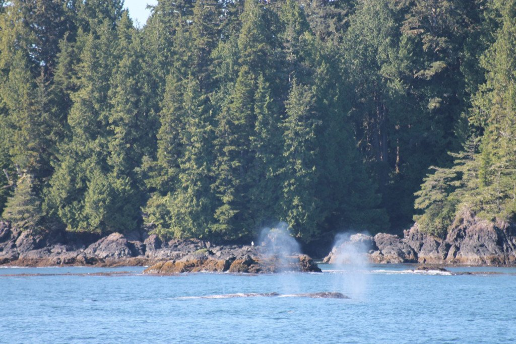 Grey Whales, Tofino, British Columbia, Canada