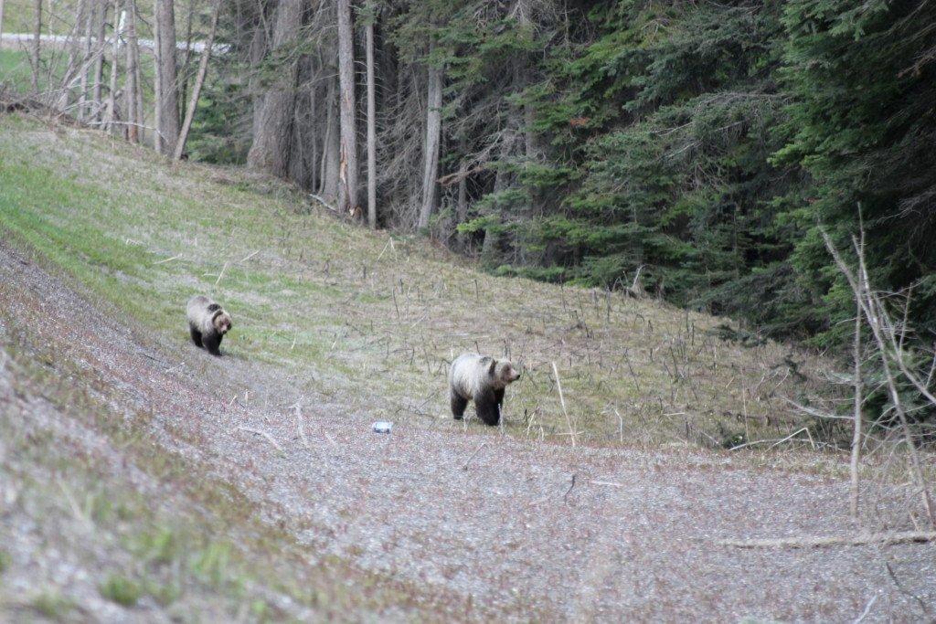 Grizzly Bears, Kootenays, British Columbia, Canada