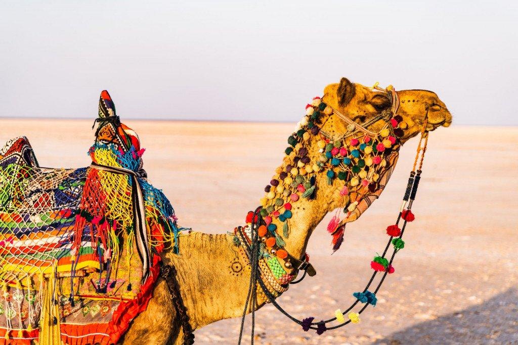 Camel Rann of Kutch, India.