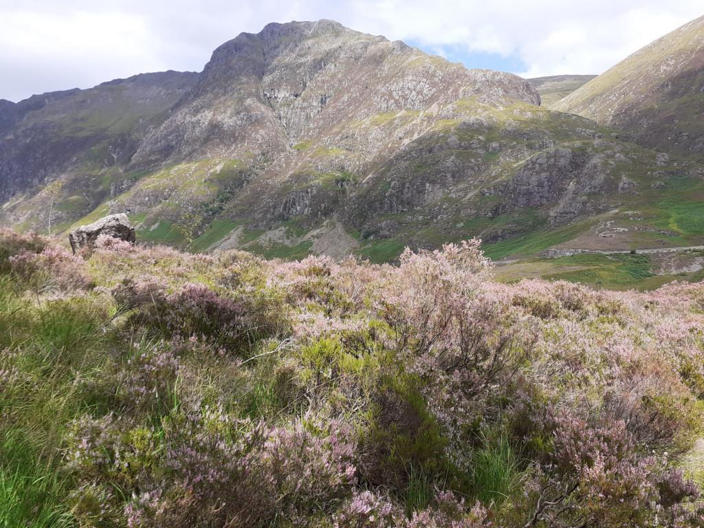 Heather on the Highlands, Glencoe.
