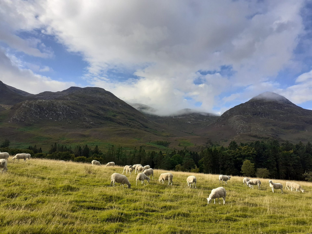 Sheep in the Highlands of Scotland
