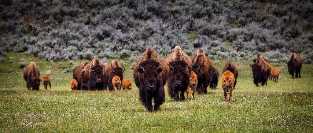 Yellowstone Bison Yellowstone Wildlife
